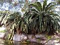 Encephalartos woodii2.jpg