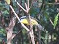 Eopsaltria australis (42500126931).jpg