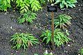 Epimedium wushanense - Savill Garden - Windsor Great Park, England - DSC06482.jpg