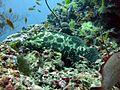 Epinephelus polyphekadion Maldives.JPG