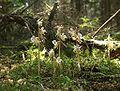 Epipogium aphyllum plants.jpg