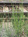 Equisetum ramosissimum2.JPG