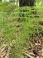 Equisetum sylvaticum 3.JPG