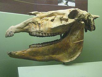 Hagerman horse - Equus simplicidens skull