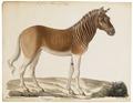 Equus quagga - 1700-1880 - Print - Iconographia Zoologica - Special Collections University of Amsterdam - UBA01 IZ21700013.tif