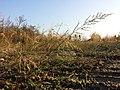 Eragrostis virescens sl10.jpg