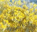 Ericameria nauseosa 3.jpg