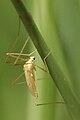 Erioptera.flavata.-.lindsey.jpg