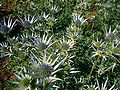 Eryngium bourgatii 2007-06-02 (plant).jpg