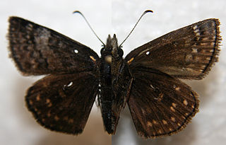 <i>Erynnis brizo</i> species of insect