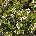 Escallonia alpina-CTJ-IMG 7216.jpg