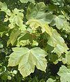 Esdoorn-bladeren.jpg