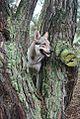 Eska der Tschechoslowakische Wolfhund zw. einem Baum.jpg