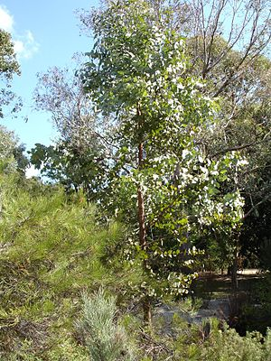 Eucalyptus dumosa - Eucalyptus dumosa, Melbourne