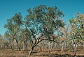 Eucalyptus koolpinensis.jpg