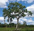 Eucalyptus platyphylla tree.jpg