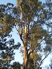Eucalyptus tree.jpg