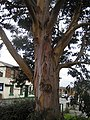 Eucalyptus tree detail - geograph.org.uk - 1045562.jpg