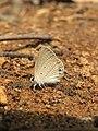Euchrysops cnejus Fabricius, 1798 – Gram Blue at Aralam Wildlife Sanctuary 2016 (16).jpg