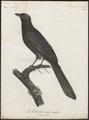 Eudynamys horonata - 1796-1808 - Print - Iconographia Zoologica - Special Collections University of Amsterdam - UBA01 IZ18800307.tif