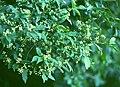 Euonymus europaeus 2.jpg