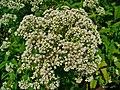 Eupatorium perfoliatum 0002.JPG
