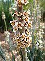Euphorbia-antisyphilitica-20080330.JPG