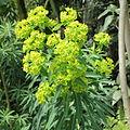 Euphorbia azorica-IMG 5861.jpg