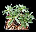 Euphorbia eustacei ies.jpg