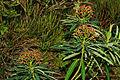 Euphorbia mellifera k2.jpg