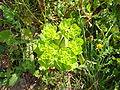 Euphorbia re.jpg