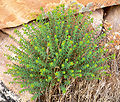 Euphorbia schizoloba 3.jpg