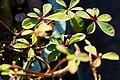 Euphorbia sp. - panoramio (7).jpg