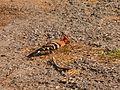 Eurasian Hoopoe - Upupa epops - P1020773.jpg