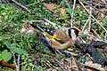 European goldfinch in Prospect Park (63016).jpg