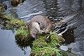 European otter 01.jpg