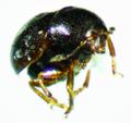Euxenus punctatus 2.png