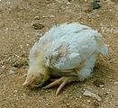 داء يصيب الدجاج ويؤدي الى نفوقه 131px-F%C3%A5sse_pesse_toirtchaedje_c%C3%B42