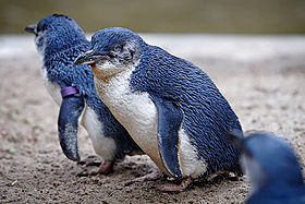 Little Penguins, Melbourne Zoo