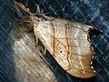 Falcaria lacertinaria - Scalloped hook-tip - Серпокрылка сухолистная (40138676344).jpg