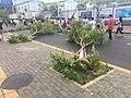Fallen trees in Shenzhen due to 2018 Typhoon Mangkhut 08.jpg