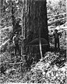 Falling team with tree 9 feet wide, camp 4, Coats-Fordney Lumber Company, near Aberdeen, ca 1920 (KINSEY 1898).jpeg