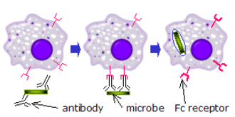 Fc receptor - Fc receptors recognize microbes that have been bound by antibodies. The interaction between the bound antibodies and the cell surface Fc receptor activates the immune cell to kill the microbe. This example shows the phagocytosis of an opsonized microbe.