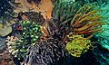 Feather Stars (Comatulida) (6059124438).jpg