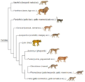 Felidae phylogeny (ita).png
