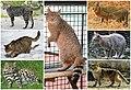 Felis Diversity.jpg