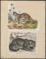 Felis onca - 1700-1880 - Print - Iconographia Zoologica - Special Collections University of Amsterdam - UBA01 IZ22100157.tif