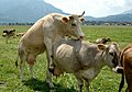 Female Cattle on Female Cattle.jpg