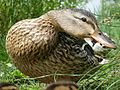 Female Mallard close-up (8550119225).jpg