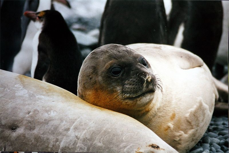 File:Female Mirounga leonina and royal penguin.jpg
